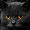 Voyeur Male Cat